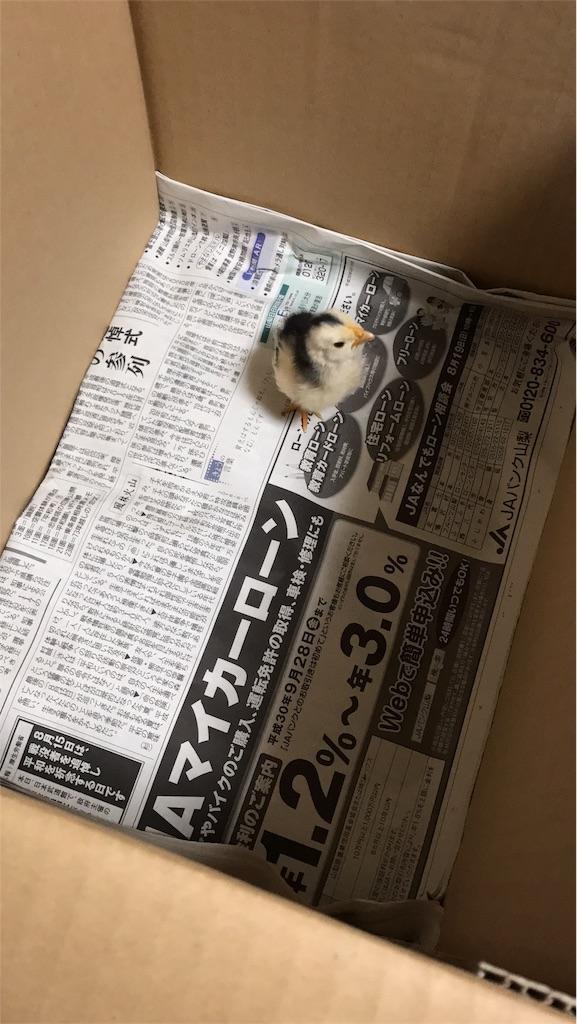 様子を見ていたが、お父さん鶏にヒヨコを世話する様子は見受けられず家の中に保護。