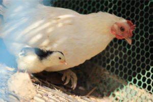 お母さん鶏さん、本当にごめんね、、、。 どうか見守ってね、、、。